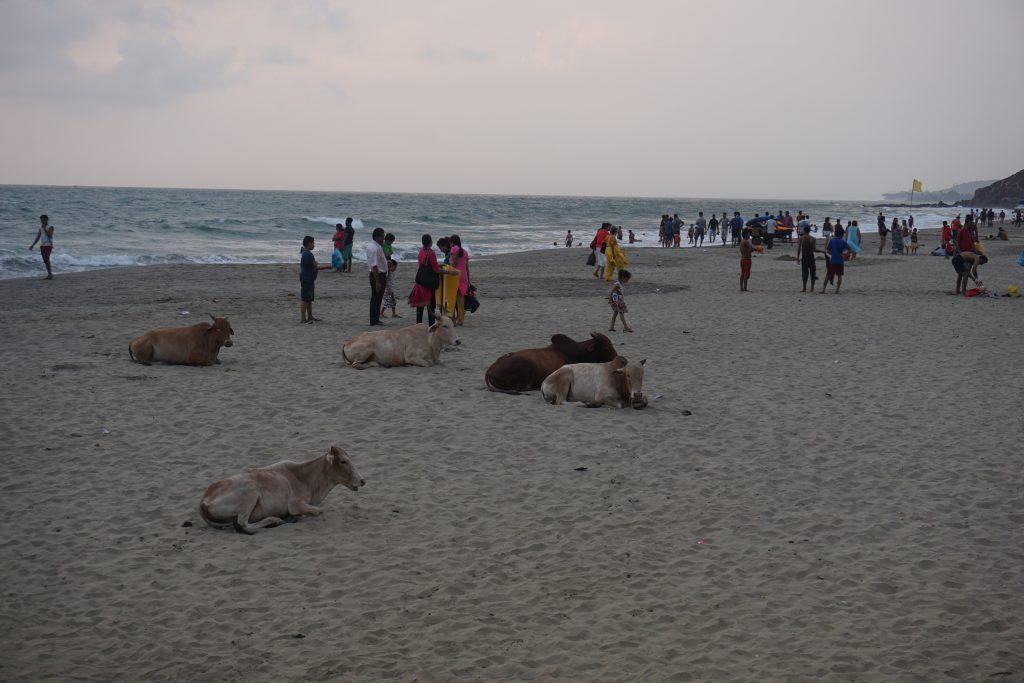 Goa gezilecek yerler - Ne yani kutsal ineklerin plajda yeri yok mu sandınız ?