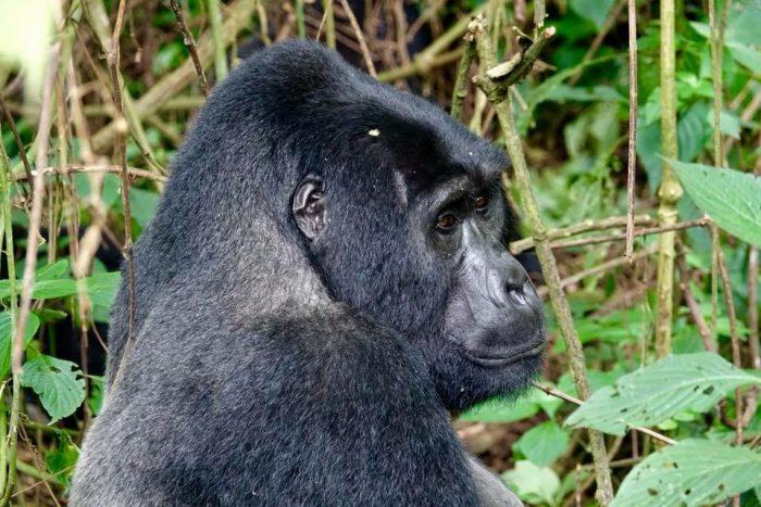 Afrika'da Goril Turu - Uganda